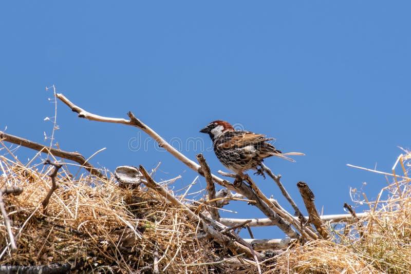 Spanish sparrow Passer hispaniolensis on stork nest stock photos