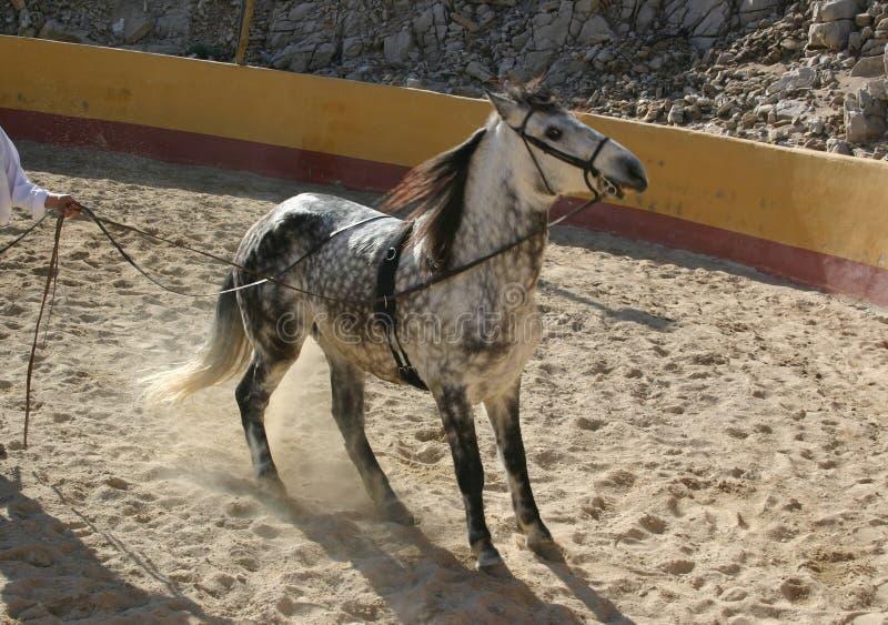 Download Spanish Stallion Royalty Free Stock Photo - Image: 1722845