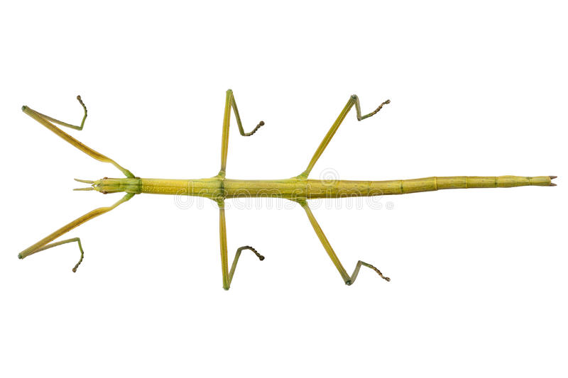Spanish Walking Stick insect species Leptynia hispanica royalty free stock photography