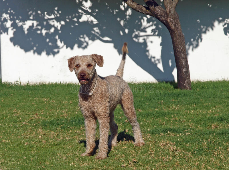 Download Spanish Water Dog stock image. Image of beige, spanish - 15347559