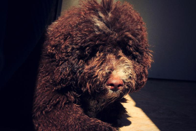 Puppy dog brown. Spanish water dog... Brown color stock photography
