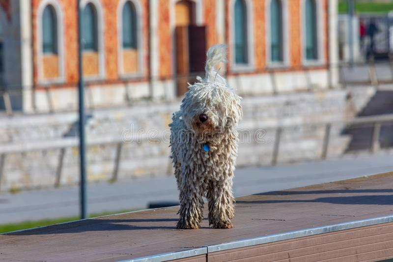 Spanish water dog Cantabrian - Barbet breed. Foreground. Light hair, long and with dreadlocks royalty free stock photography