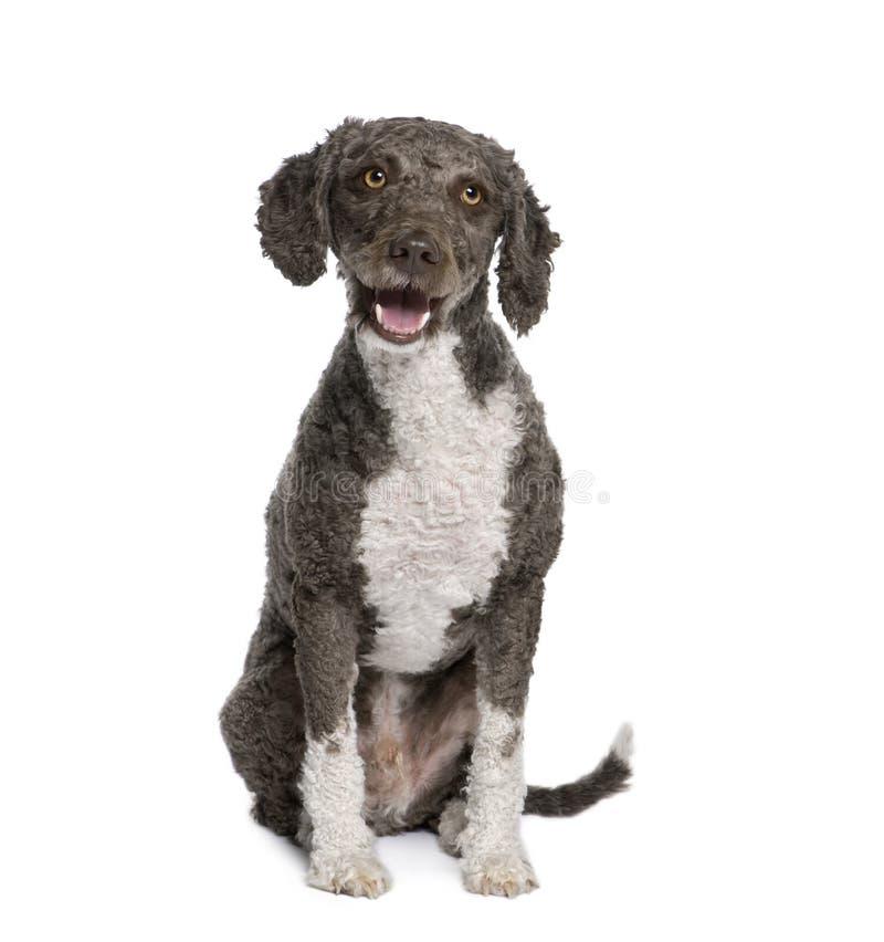 Download Spanish Water Spaniel Dog, 3 Years Old, Sitting. Stock Image - Image: 11292241
