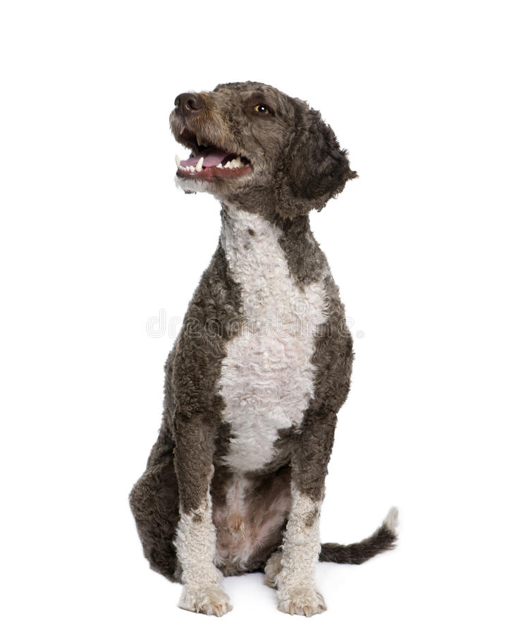 Spanish water spaniel dog, 3 years old, sitting. Spanish water spaniel dog, 3 years old, sitting in front of white background, studio shot royalty free stock image