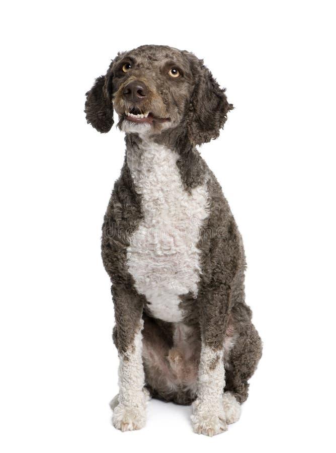 Download Spanish Water Spaniel Dog, 3 Years Old, Sitting. Stock Photo - Image: 11292270