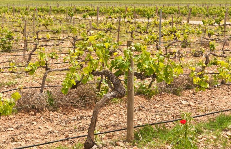 Spanish wine vineyard in north eastern region of wine country. Front view, medium distance of rows of grape vines begin growing season, third generation wine stock images