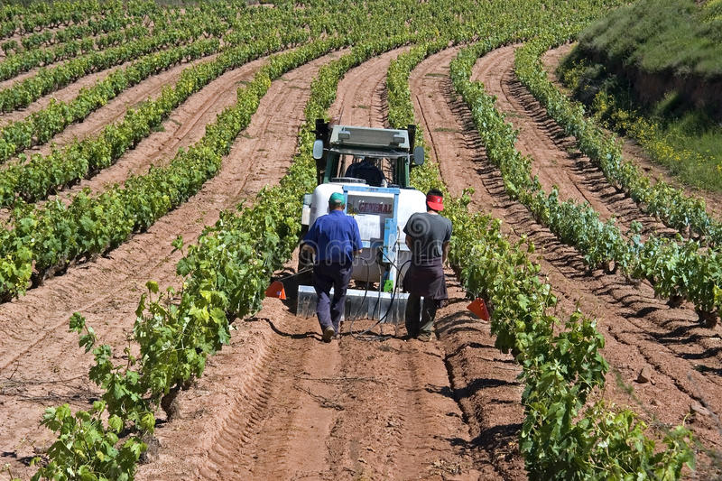 Spanish workers working in vineyard stock images