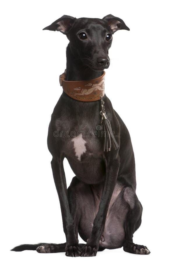 spanjor för espanolgalgovinthund royaltyfria bilder
