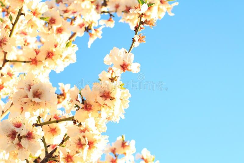 Spanjoren för körsbärsröd blomning fjädrar på bakgrund för blå himmel arkivfoto