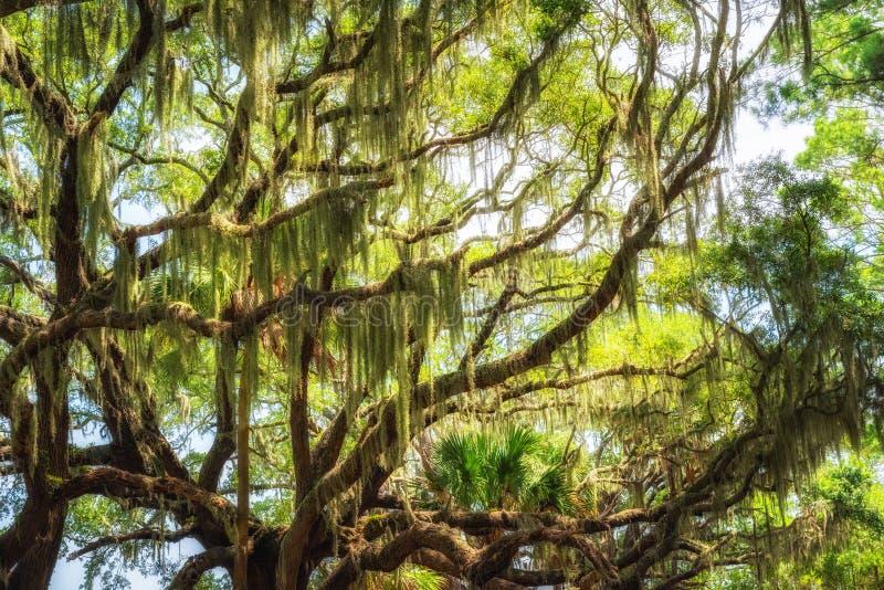 Spansk mossa som hänger från en ek i botanikfjärdkoloni royaltyfria foton