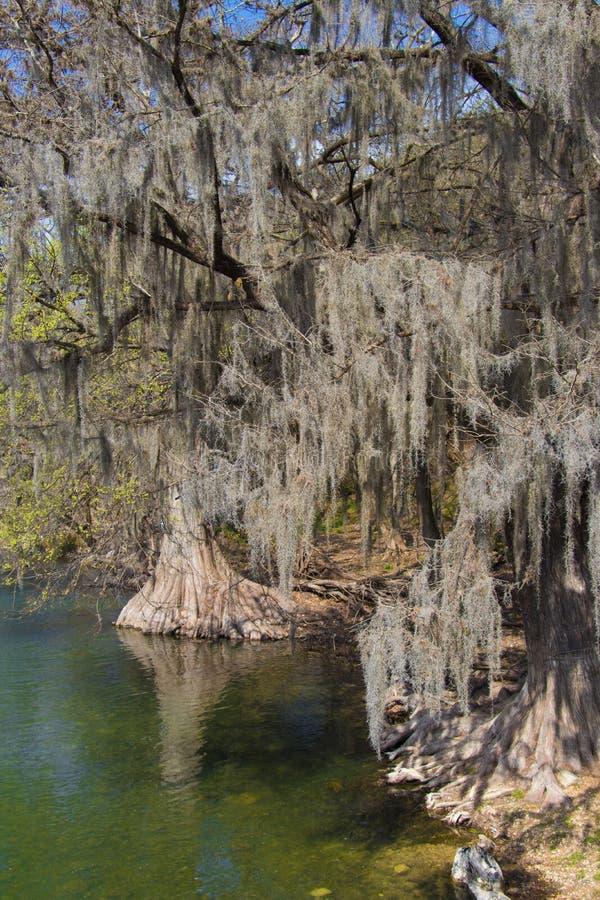 Spansk mossa som hänger från träd på en flodbank royaltyfri fotografi