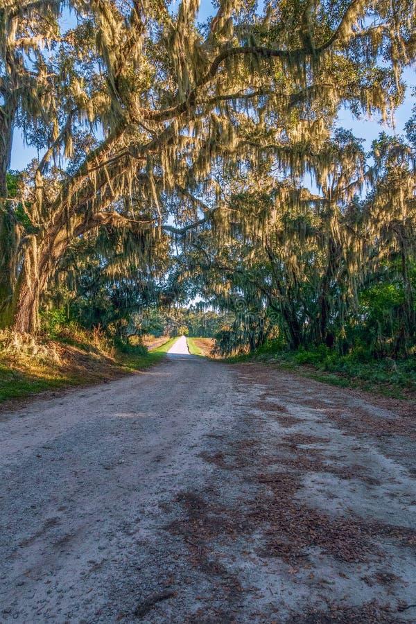 Spansk mossa som hänger från trädfilialer ovanför drevet för lagerkulledjurliv Savannah NWR södra carolina USA royaltyfri bild