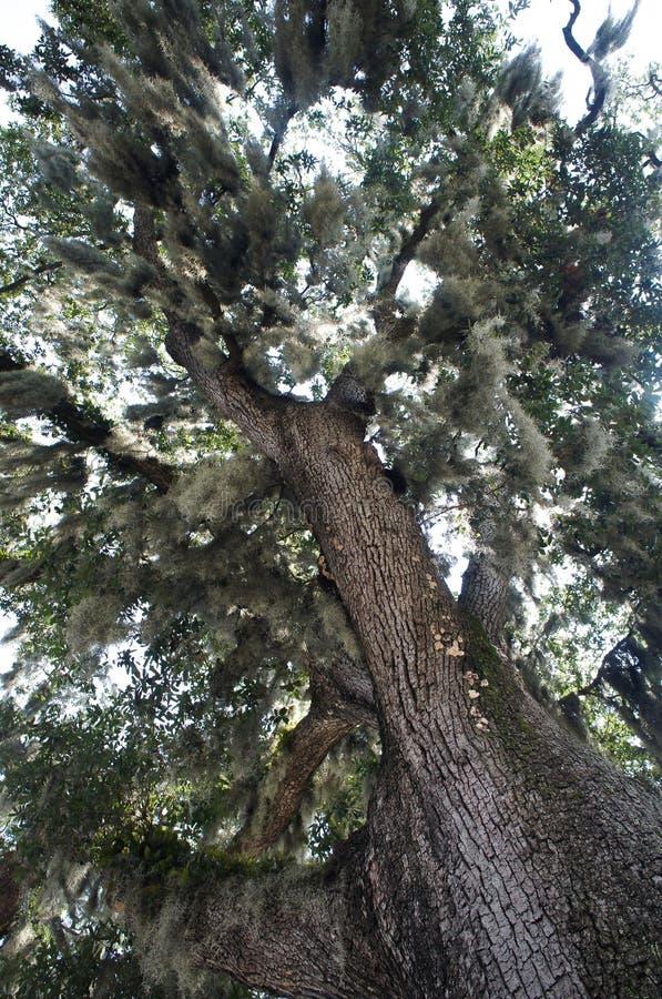Spansk mossa som täcker en gammal ek i savannahen, Georgia arkivbild