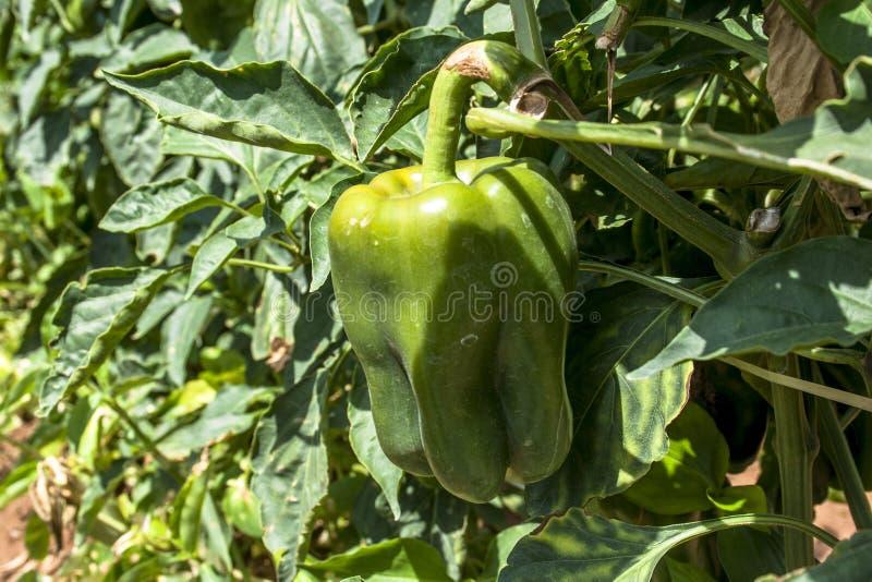 spansk peppar royaltyfria foton