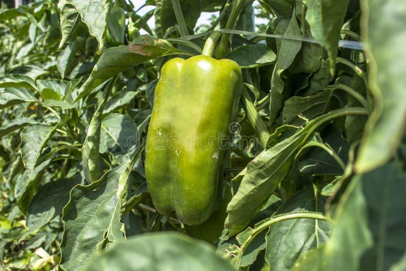 spansk peppar arkivbilder