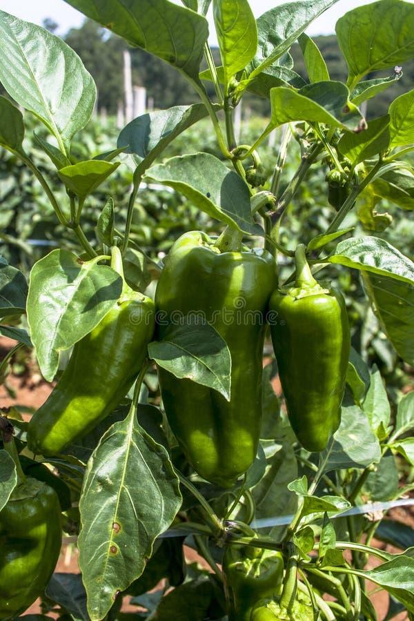 spansk peppar royaltyfri fotografi