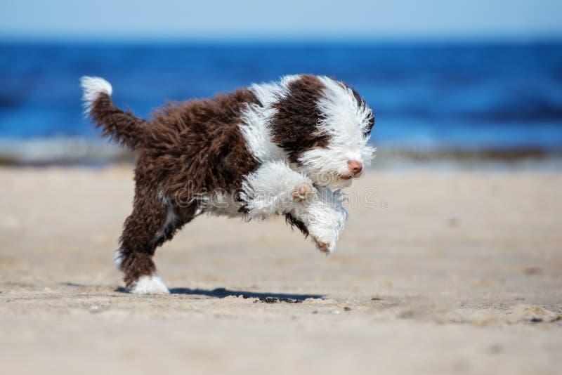 Spansk spring för valp för vattenhund på en strand arkivfoton