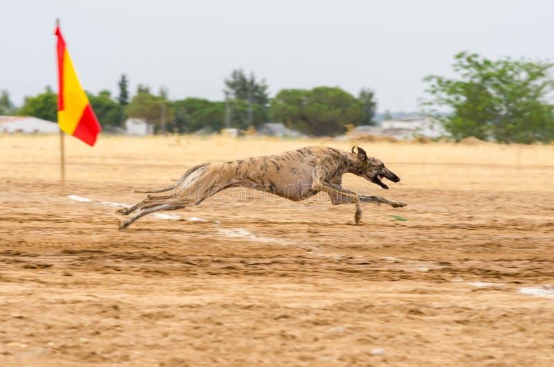 Spansk vinthund royaltyfri bild