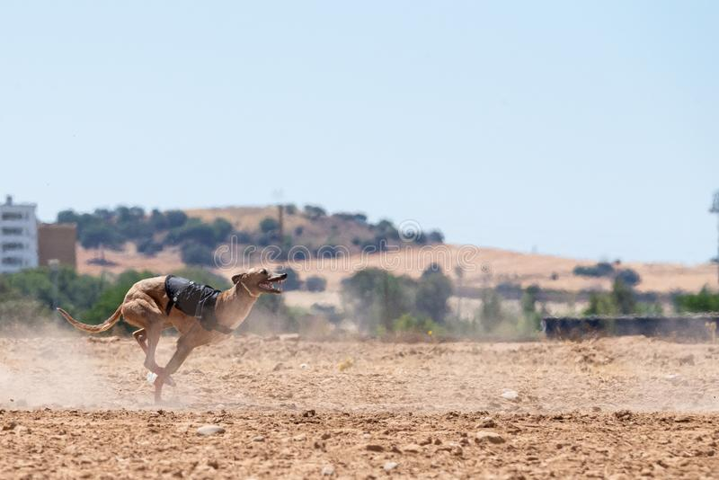 Spansk vinthund som kör och ser kameran arkivfoton