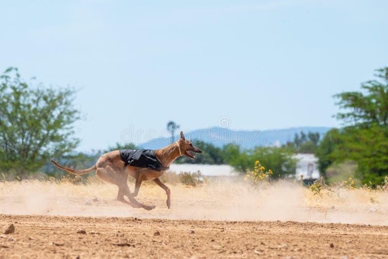 Spansk vinthund som kör och ser kameran royaltyfria bilder