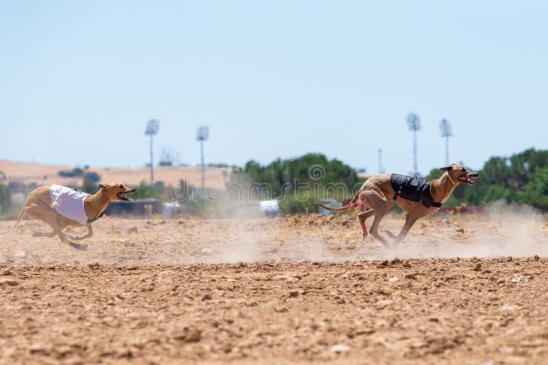 Spansk vinthund som kör och ser kameran fotografering för bildbyråer