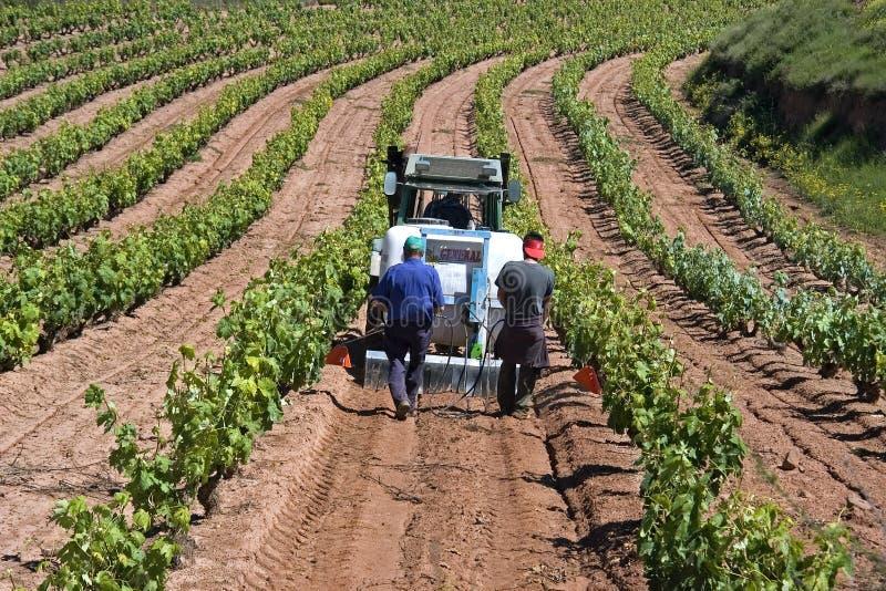 Spanska arbetare som arbetar i vingård arkivbilder
