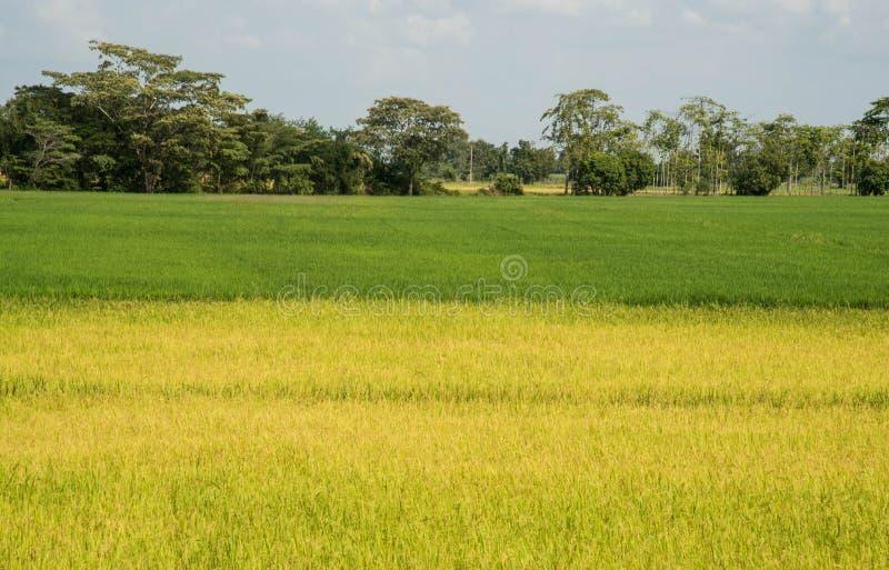 Sparade gröna ris arkivbild