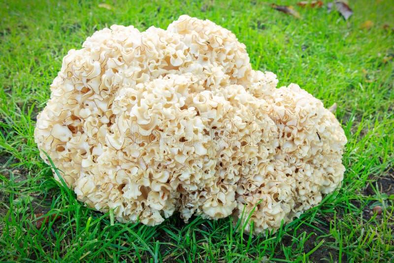 Sparassis Crispa (花椰菜蘑菇) 库存照片