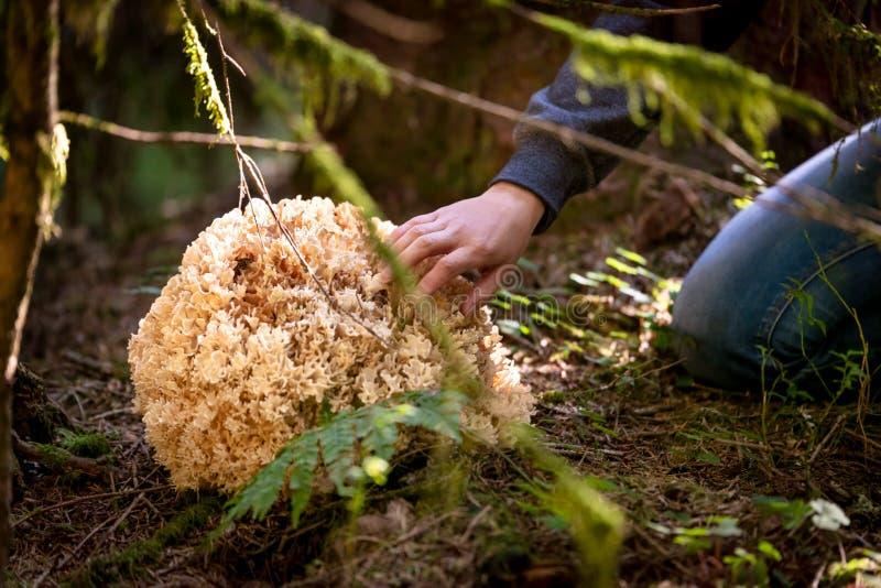 Sparassis Crispa aus den Waldgrund, Frau ist- gehende Pilzkopfbildung stockbild
