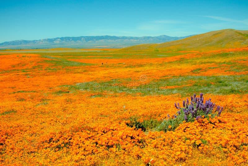 Sparat av blommor med vallmo och purpurfärgade brytningar arkivbilder
