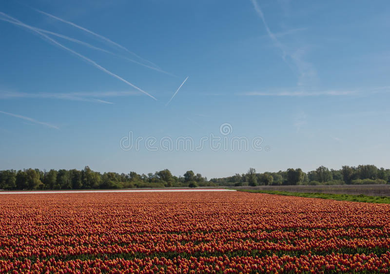 Sparat av orange tulpan fotografering för bildbyråer