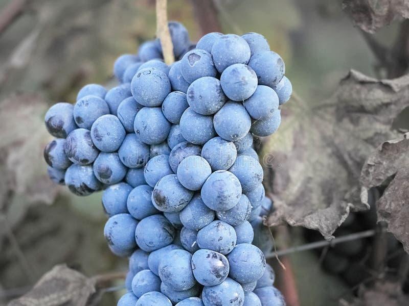 Sparato di bella uva scura fotografia stock