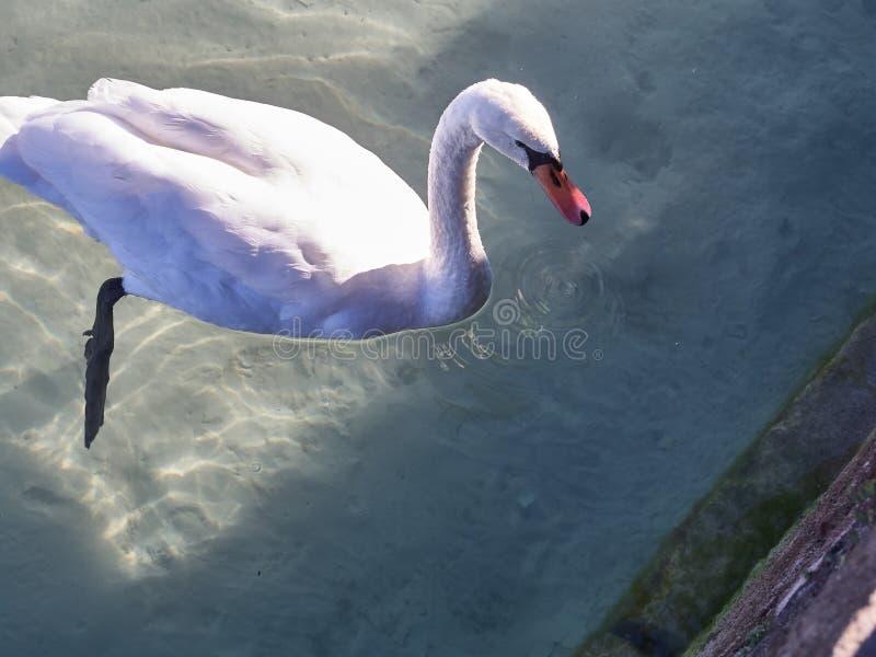 Sparato di un cigno nel lago di Annecy fotografia stock