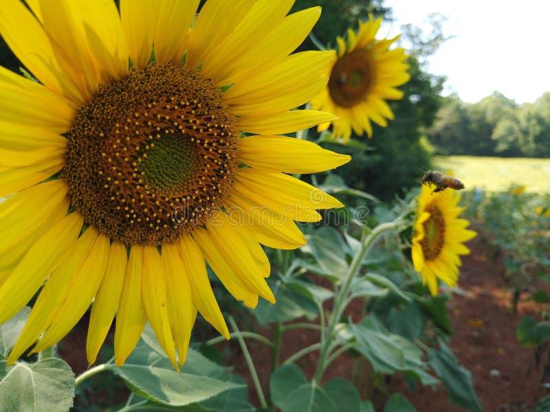 Sparen de bijen en de zonnebloemen stock foto