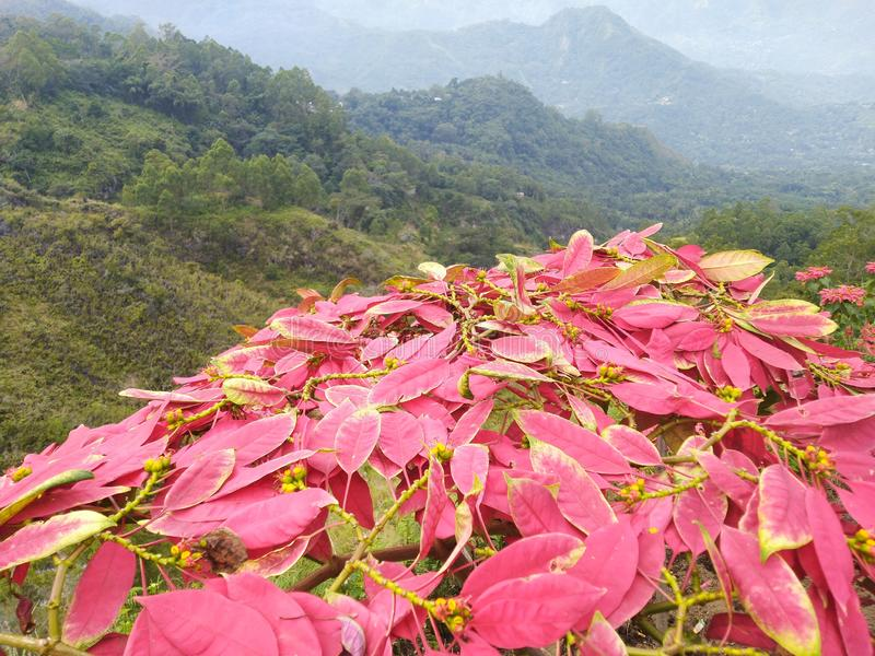 Sparga dei fiori rosa messi in supporto Inerie Manulalu Bajawa immagini stock libere da diritti