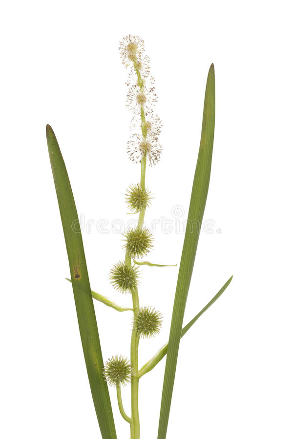Free Sparganium Erectum Royalty Free Stock Photography - 25541427