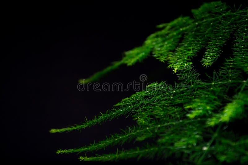 Spargel plumosus mit hell reichen grünen Blättern auf einem dunklen Hintergrund Lang flache Blätter stockbilder