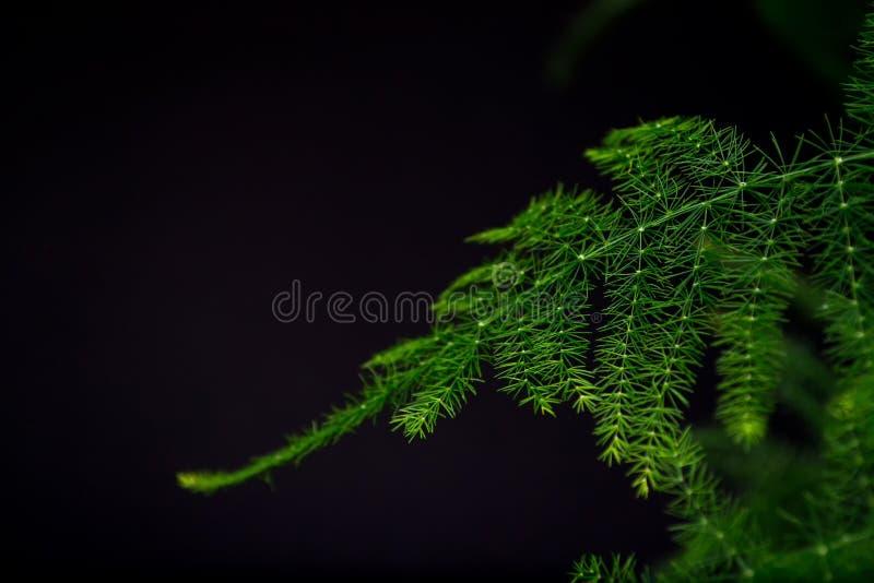 Spargel plumosus mit hell reichen grünen Blättern auf einem dunklen Hintergrund Lang flache Blätter Ein traditioneller hängender  lizenzfreie stockfotos