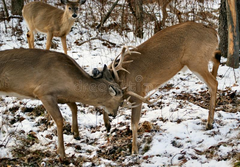 Sparing whitetail deer royalty free stock images