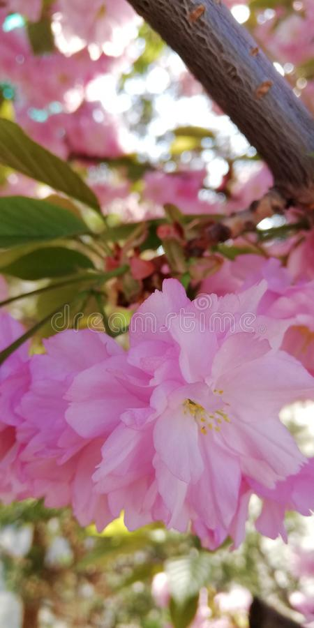 Sparkling joyful positive background. Delicate double pink almond flowers on a sunny spring day stock photos