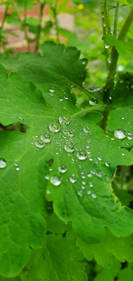 Sparkling raindrops calmly laying on a leaf. stock photos