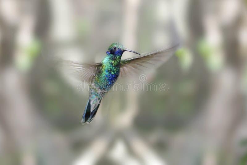 Sparkling Violet-ear Hummingbird stock photos