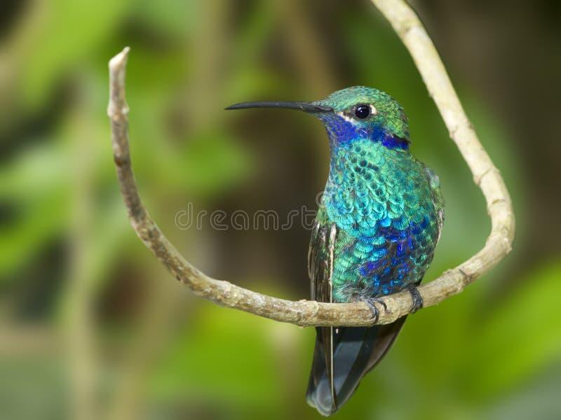 Sparkling Violetear Hummingbird stock photos
