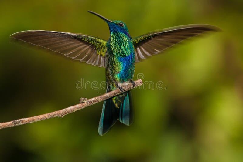 Download Sparkling Violetear stock image. Image of tropical, hummingbird - 60084205