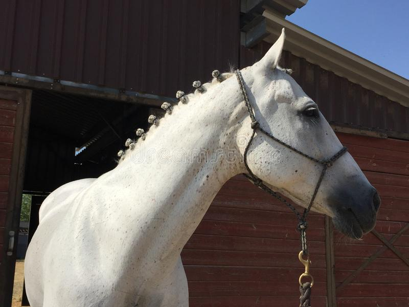 Sparkling white show horse with plaits posed in front of barn. Beautiful elegant dressage horse braided and ready to compete. Photo captured in Paso Robles stock photo