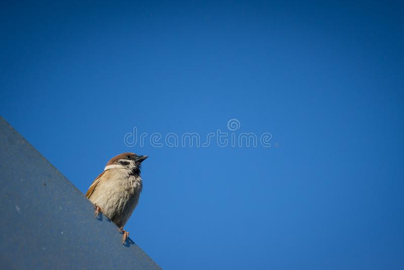 Sparow na dachowej rynnie w mieście, błękitny pogodny nieba bacground fotografia stock