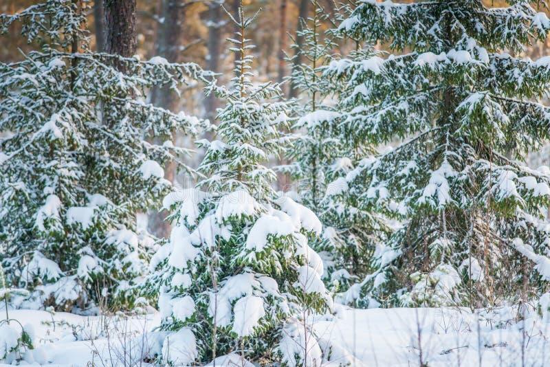 Sparren met sneeuw royalty-vrije stock foto