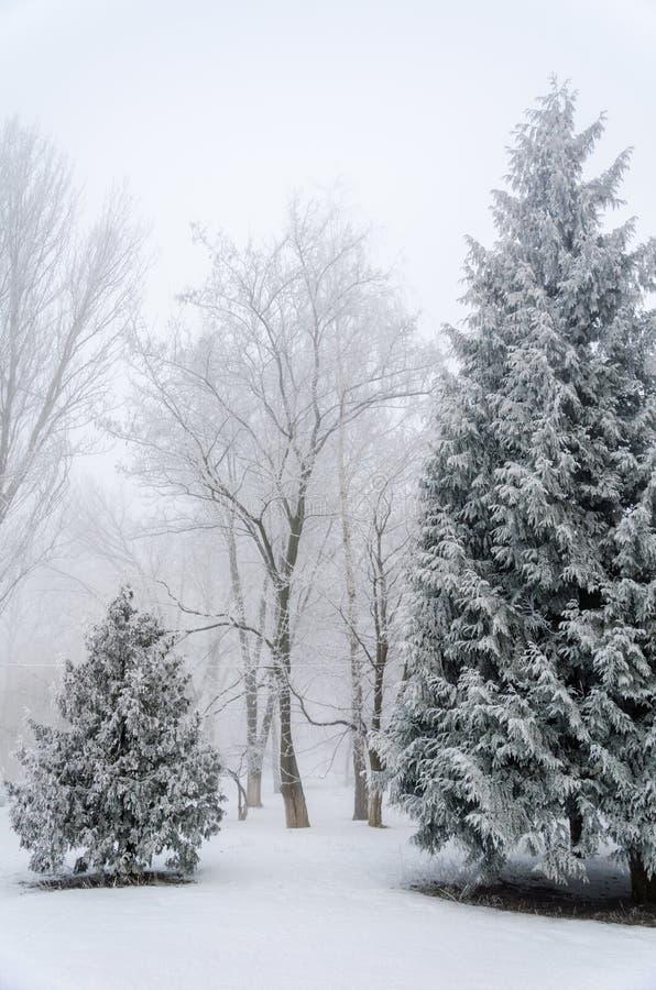Sparren met sneeuw in het bos in dik La dat van de mistwinter worden behandeld royalty-vrije stock foto