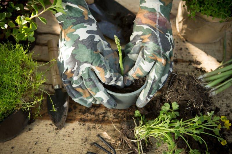 Sparrisplanta, växter i krukor och trädgårdhjälpmedel på trätabellen som arbeta i trädgården begrepp royaltyfria foton