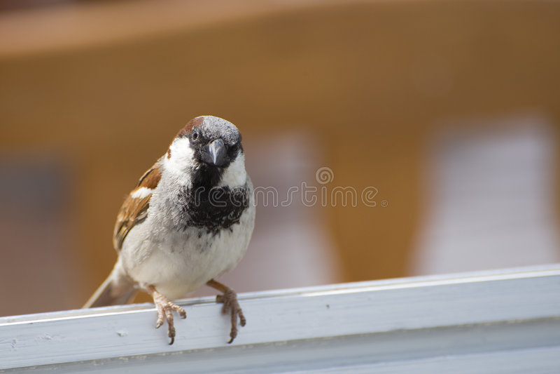 sparrow ściany obraz stock